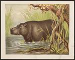 [The hippopotamus].