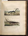 The Leguana or Iguana Lizard of Guiana ; The Alligator or Cayman of Surinam. [Colour Version].