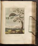 The Armadillo, & Porcupine of Guiana. [Colour Version]