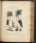 The Manicole & the Cocoa-Nut Tree. [Colour Version]