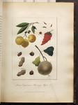 Limes, Capsicum, Mammy Apple &c. [Colour Version]