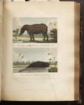 The Tapir, or Hippopotamus of South America. The Manati, or Sea Cow of Guiana. [Colour Version]