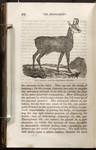 The chamois: antilope rupicapra.