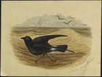 Stormy petrel or Mother Careys chicken.