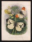 1. The Large White Cabbage Butterfly. 2. Green veined Cabbage Butterfly. 3. Orange-tipped Butterfly.