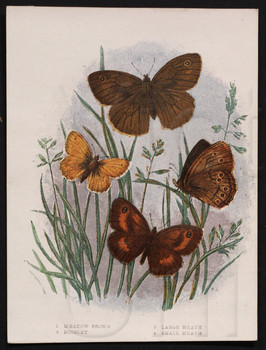 1. Meadow Brown. 2. Ringlet. 3. Large Heath. 4. Small Heath.