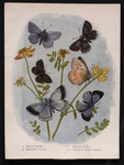 1. Holly Blue. 2. Bedford Blue. 3. Chalk Blue. 4, 4a. Common Blue (M & F.)