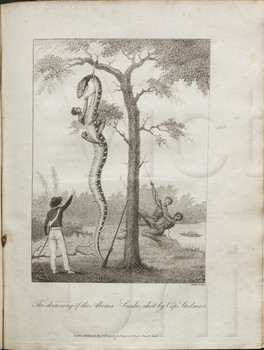 The skinning of the Aboma Snake, shot by Cap. Stedman