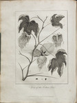 Sprig of the Cotton Tree.