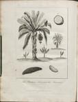 The Plantain Tree, and the Banana.