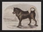 Esquimaux dog.
