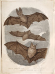 Long eared bat. Pipistrelle. Larger horse-shoe bat.