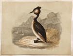 Crested grebe.