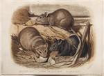 Brown Rat. Long-tailed Rat. Black Rat.