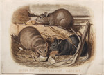Brown Rat. Long-tailed Rat. Black Rat.