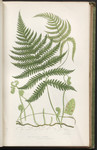The ferns of Great Britain, and their allies the club-mosses, pepperworts, and horsetails.