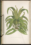 The ferns of Great Britain, and their allies the club-mosses, pepperworts, and horsetails. Plate 300