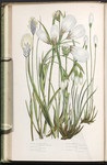 The British grasses and sedges. Plate 242