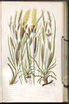 The British grasses and sedges. Plate 248