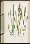 The British grasses and sedges. Plate 258